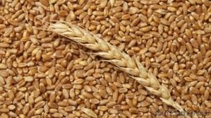 Пшеница, зерно продаем франко-вагон FCA - Изображение #1, Объявление #1571653