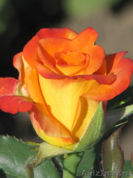 Куплю розы оптом цена
