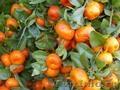 Продажа мандарин хурмы в Абхазии и Адлере