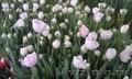 Тюльпаны к 8 марта (опт/розница) - Изображение #2, Объявление #553520