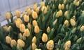 Тюльпаны к 8 марта (опт/розница) - Изображение #3, Объявление #553520