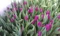 Тюльпаны к 8 марта (опт/розница) - Изображение #4, Объявление #553520
