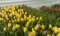 Тюльпаны к 8 марта (опт/розница) - Изображение #5, Объявление #553520