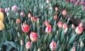 Тюльпаны к 8 марта (опт/розница) - Изображение #6, Объявление #553520