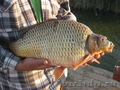 Живая рыба,  Карп Венгерский