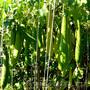 Семена мочалки люффа растительная