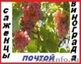 Саженцы винограда 2х летние 90 десертных  сортов-почтой.