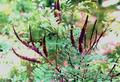 Семена аморфы ( декоративный кустарник,  прекрасный медонос)