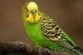 Продам волнистых попугаев оптом