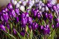 Крокусы – оптовая продажа цветов к 8 марта.
