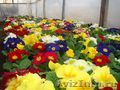 Продажа горшечных цветов оптом к 8 марта