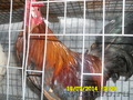 Инкубационное яйцо карликовых кур