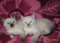 Очаровательные сиамские кошечки