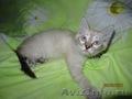 Сиамские (тайские) котята
