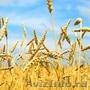 Семена озимой пшеницы Гром,  Безостая 100,  Алексеич,  Таня,  Юка и др.