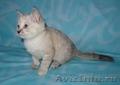 Тайские (традиционные cиамские) котята - Изображение #5, Объявление #1599526