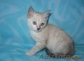 Тайские (традиционные cиамские) котята - Изображение #6, Объявление #1599526