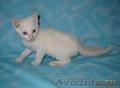 Тайские (традиционные cиамские) котята - Изображение #3, Объявление #1599526