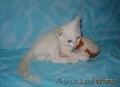 Тайские (традиционные cиамские) котята - Изображение #4, Объявление #1599526