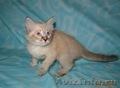 Тайские (традиционные cиамские) котята - Изображение #7, Объявление #1599526