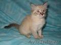 Тайские (традиционные cиамские) котята - Изображение #8, Объявление #1599526