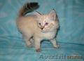 Тайские (традиционные cиамские) котята - Изображение #9, Объявление #1599526