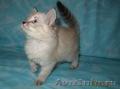 Тайские (традиционные cиамские) котята - Изображение #10, Объявление #1599526