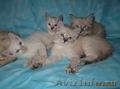 Тайские (традиционные cиамские) котята