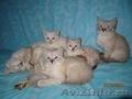 Тайские (традиционные cиамские) котята - Изображение #2, Объявление #1599526