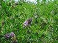 Семена люцерны Манычская
