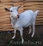 Козы альпийские,  зааненка и козел-производитель