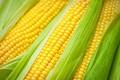 Семена кукурузы краснодар