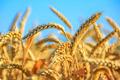 Семена озимой пшеницы Безостая 100, Гром, Гурт, Жива, Степь, Таня, Юка, Объявление #1661772