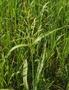 Семена суданской травы Камышинская 51, Объявление #1661769